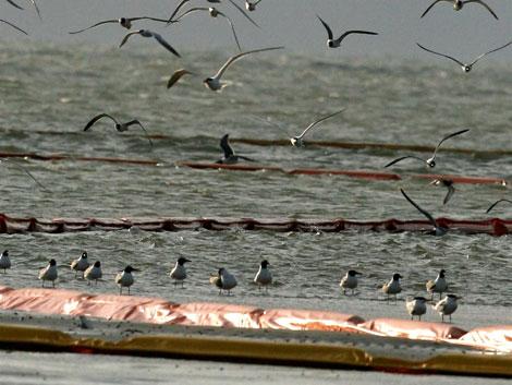 Pájaros en la zona contaminada con petróleo. | Ap