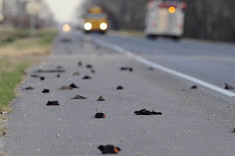 Cientos de pájaros yacen en la autopista Morganza, Lousiana. | Ap