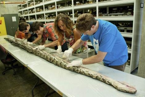 Imagen de la serpiente durante su disección en el Universidad de Florida. | Efe
