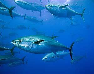 Un banco de atunes rojos. (Foto: Greenpeace)