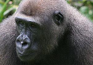 Imagen de un gorila africano.