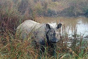 Rinoceronte blanco, en Nepal. (Foto: REUTERS)
