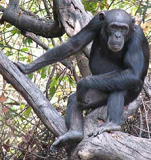 Un chimpancé como los del estudio. (Foto: AP)