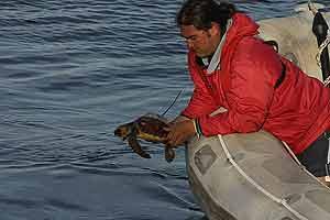 Una tortuga marcada con un emisor de radiofrecuencia. (Foto: ALNITAK)