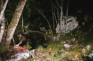 Bear eating carrion