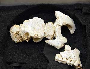 Atapuerca cráneo de un homínido que vivió hace 500.000 año 1185288918_0
