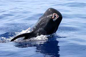 calderones de Canarias comen calamares gigantes 1186994338_0