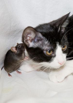 Un ratón transgénico, sin olfato, junto a un gato. (Foto: 'Nature')