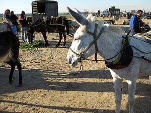 Burros en la franja de Gaza