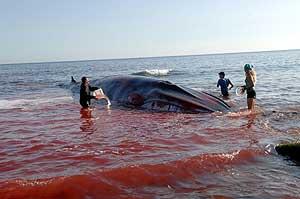 Unos voluntarios echan agua a la ballena que apareció en la playa de La Petunia. (Foto: EFE)