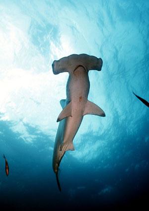 Tiburón martillo gigante (Foto: EL MUNDO)