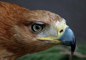 Ejemplar adulto de águila imperial. (Foto: CSIC)