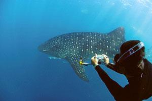 El biólogo marino australiano especializado en el estudio y la protección del tiburón ballena, en el parque Ningaloo Marine Park. (Foto: Kurt Amsler)