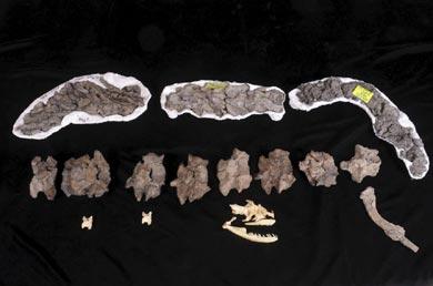 Los restos de la inmensa serpiente prehistórica (arriba), sobre dos vértebras y el cráneo de una anaconda moderna (abajo). | Nature