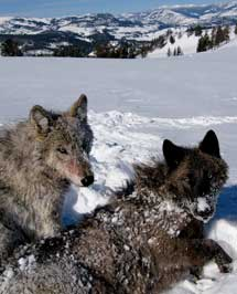 Dos lobos sobre la nieve. | Dan Stahler