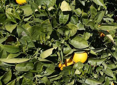 Naranjas de cultivo ecológico en Valencia. Foto: EL MUNDO