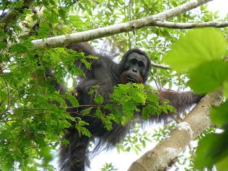 Un ejemplar de la rara subespecie del orangután negro de Borneo. | AFP