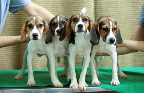 Las cuatro hembras clónicas de beagle, cuyas uñas se ven de color rojo incluso bajo una luz normal. | AP