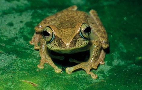 nuevos anfibios descubiertos en Madagascar