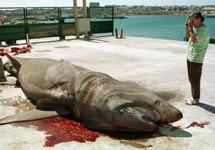 Un tiburón peregrino capturado accidentalmente en Girona. | Efe