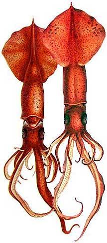 Dibujo de 1910 de un calamar. | Carl Chun