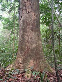 Uno de los árboles gigantes de Camerún.|Kew Garden