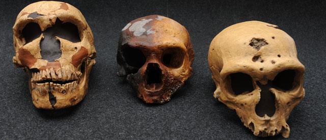 Cráneos de neandertales encontrados en El Sidrón (Asturias). | CSIC