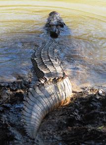 Un cocodrilo con transmisor comienza su viaje. | Australia Zoo