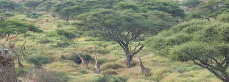 Jirafas en Ngorongoro, Tanzania. | Rosa M. Tristán