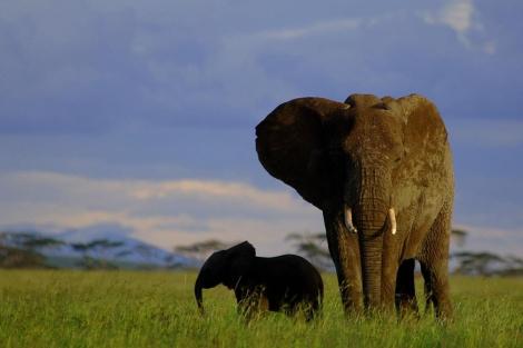 Un Elefante paseando con su cría por las llanuras del Serengueti.   El Mundo