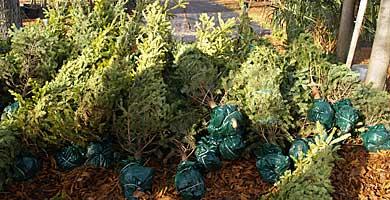 Árboles tras las fiestas navideñas. | Foto: Ecologistas en acción.
