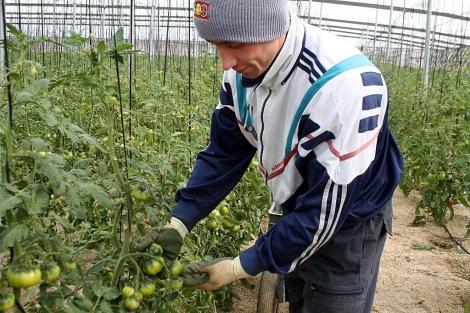 Un agricultor de Almería recolecta ejemplares de tomate raf. | M. Cabrera