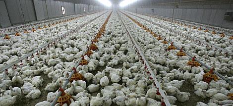 Una granja de pollos. | AFP