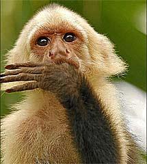 Capuchino cariblanco. | Jose Luis Cuesta
