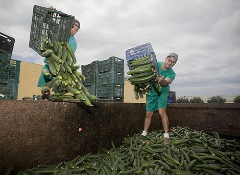 Agricultores almerienses destruyen pepinos durante la crisis del E.Coli.