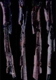 Fémur de neandertal de Zafarraya, con marcdas de corte. |Cecilio Barroso
