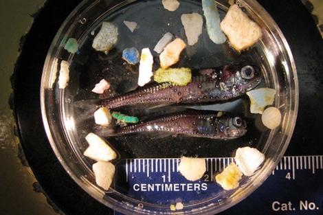 Peces y pequeños trozos de plástico recolectados durante una expedición. | Scripps Institution of Oceanography