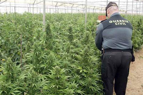 Un agente junto a las plantas de marihuana bajo plástico. | Efe