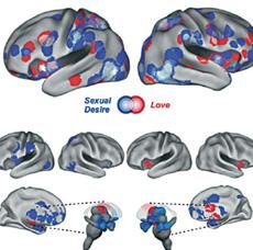 El mapa cerebral del amor y del deseo sexual