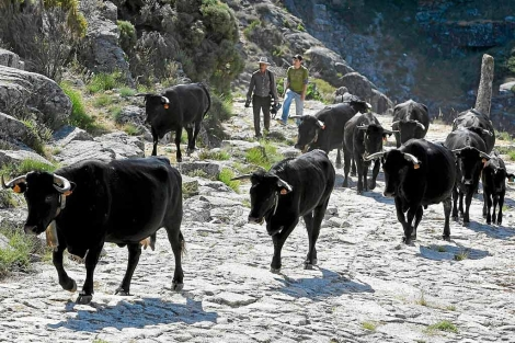 El Pico abre el paso a 1.500 reses que llegan desde Extremadura y La Mancha  1340470574_0