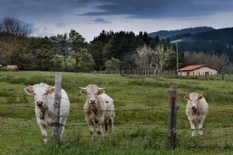 Ganado vacuno en el País Vasco. | Iñaki Andrés