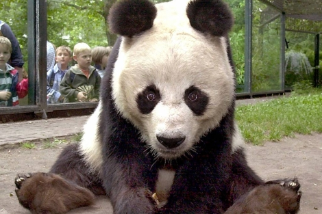 El oso panda macho BaoBao en el zoo de Berln en el 2000. |Afp