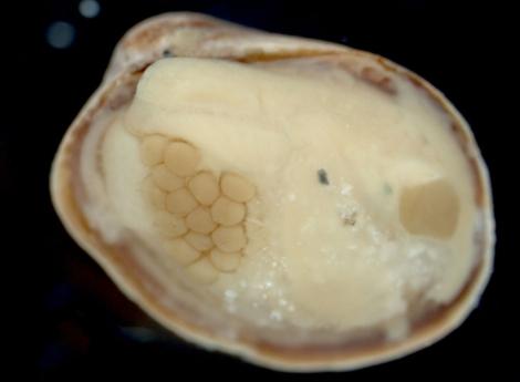 Un ejemplar de 'Lissarca miliaris' que alberga huevos en su interior.   Adam Reed