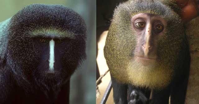 La nueva especie descubierta, 'C. lomamiensis' (dcha.) guarda similitudes con 'C. hamlyni', con la que ha sido comparada en este estudio.| Hart/Detwiler/Gilbert/Burrell