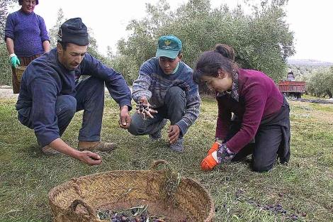 Varios jornaleros recogen aceituna del suelo en un olivar de Jaén.