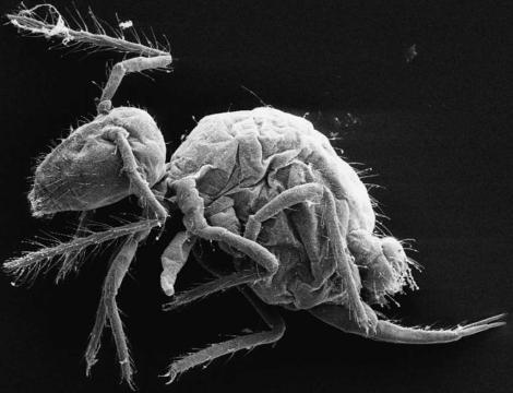La nueva especie Pygmarrhopalites maestrazgoensis. | Rafael Jordana y Enrique Barquero.