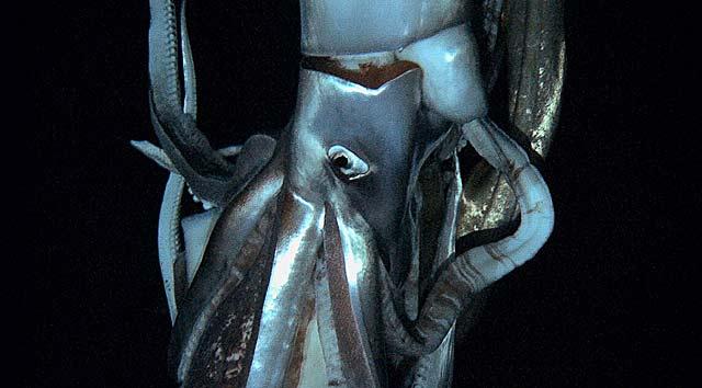 Imagen del calamar gigante captada de un vídeo de NHK y Discovery Channel. | Afp