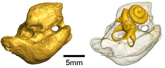 Reconstrucción del cráneo de la vaca marina. | Julien Benoit.