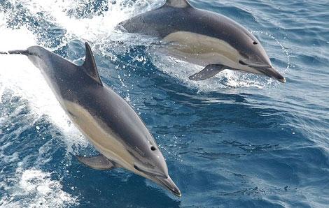 Una pareja de delfines surca las olas. | NOAA