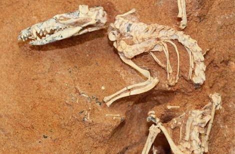 Fósil del mamífero del Cretácico encontrado en 1994. | AMNH/ S. Goldberg, M. Novacek